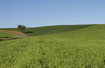 Peas on the Palouse