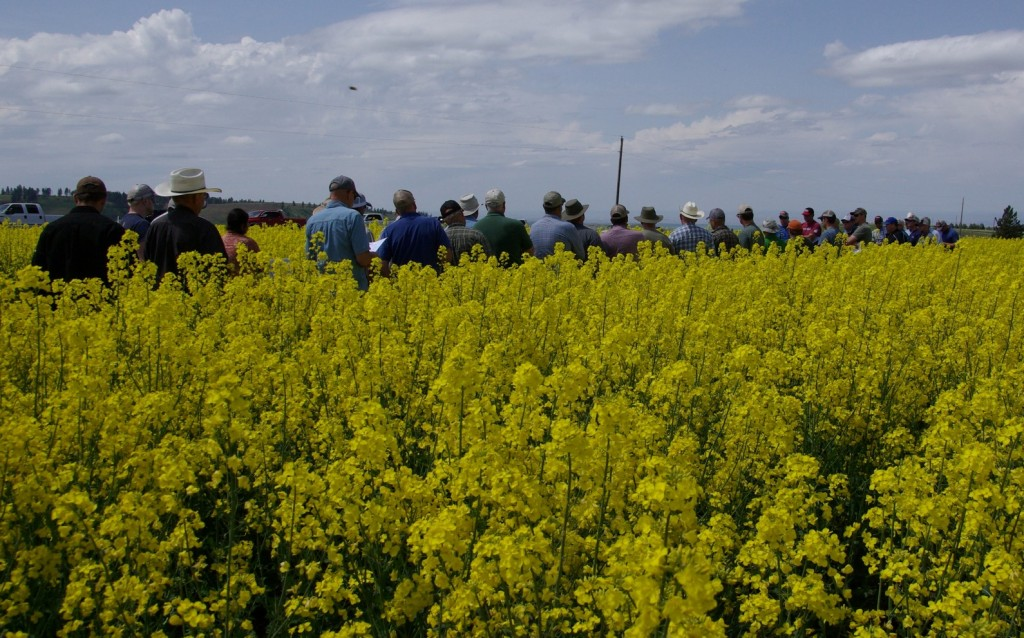 Crowd at a Pomeroy field tour in a field of canola
