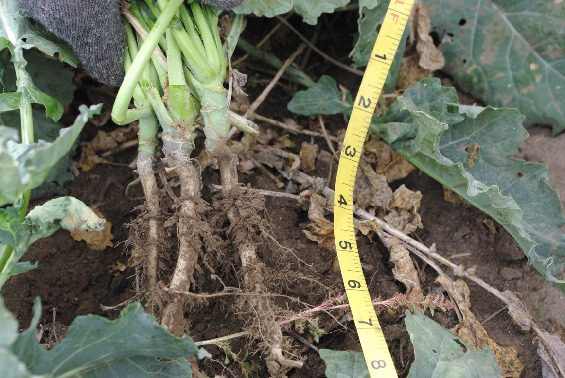 Canola root with a measuring tape next to it
