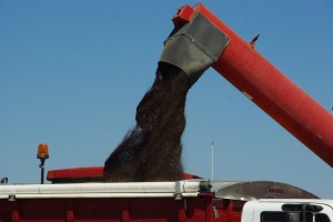 Canola coming out of an auger into a truck during harvest