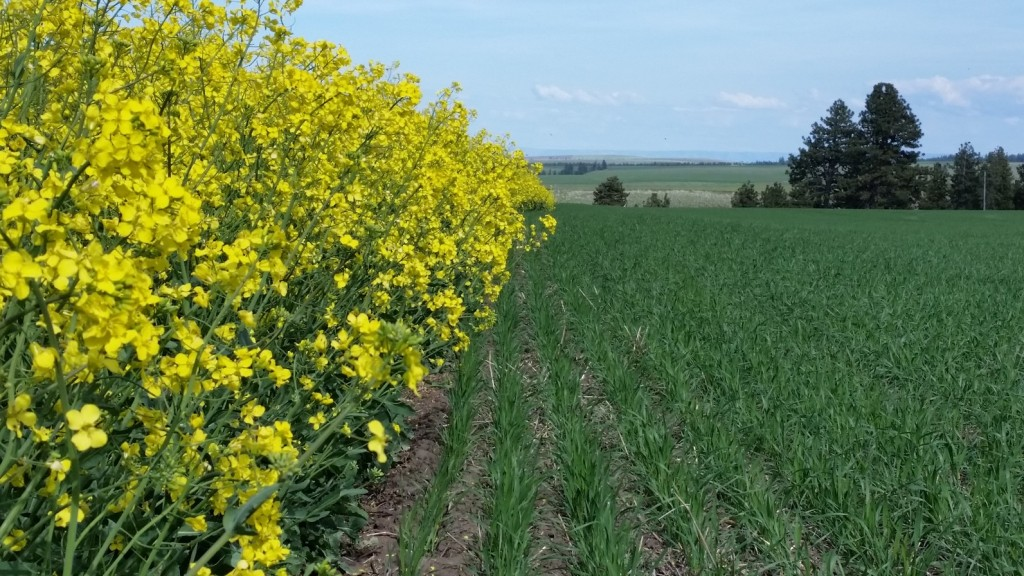 This is an image of a canola and a wheat field.