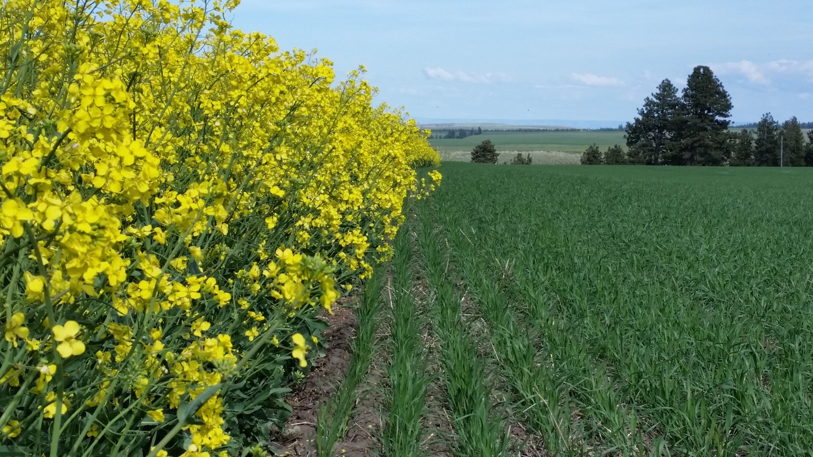 Canola and wheat trials.