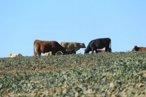 cattle in a canola field